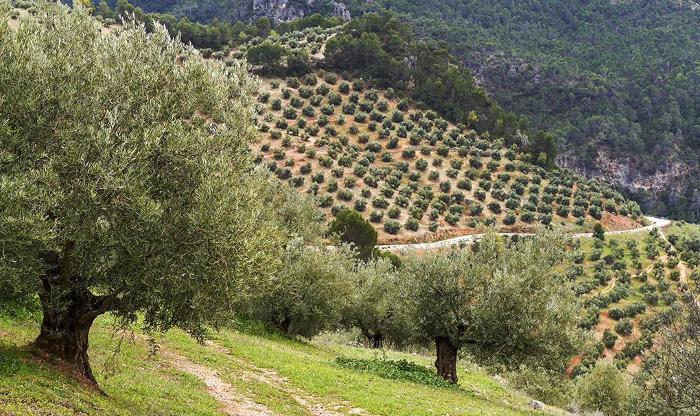 El manto de olivos que cubre todos los rincones de Jaén. Foto: Shutterstock.