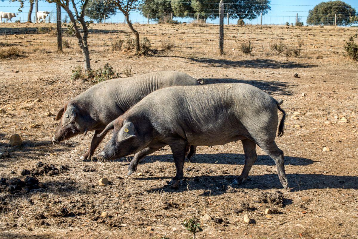 Los que aparecen en las fotos son de bellota, nacidos en junio de 2016 y alcanzarán un peso de entre 80 y 90 kg.