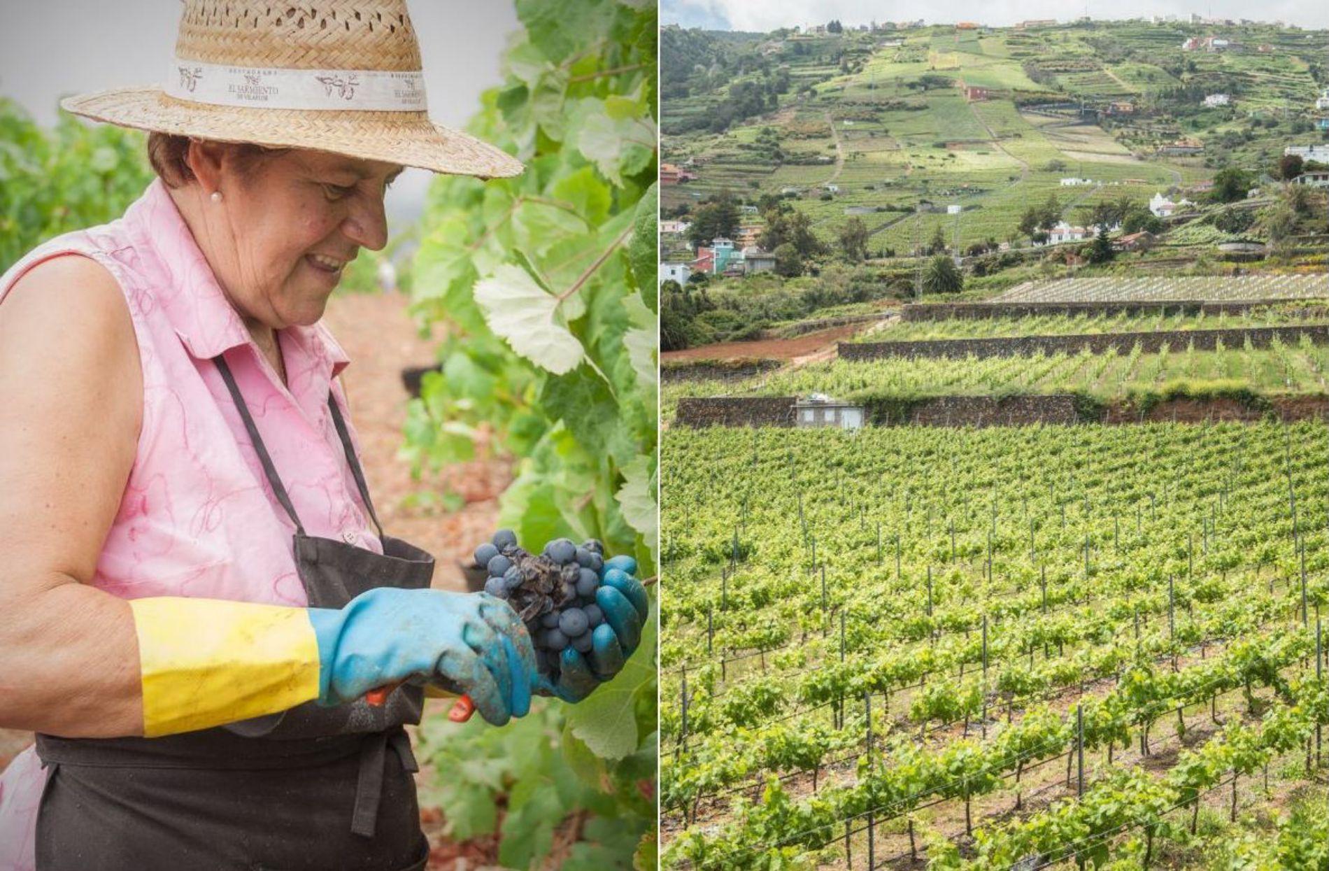 Canarias es también una reserva de sarmientos de uva históricos que dejaron quienes pasaron por aquí.
