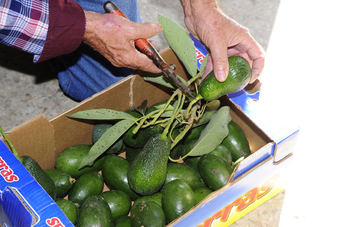 Si se corta el rabito del aguacatae, el fruto madura dos días antes.
