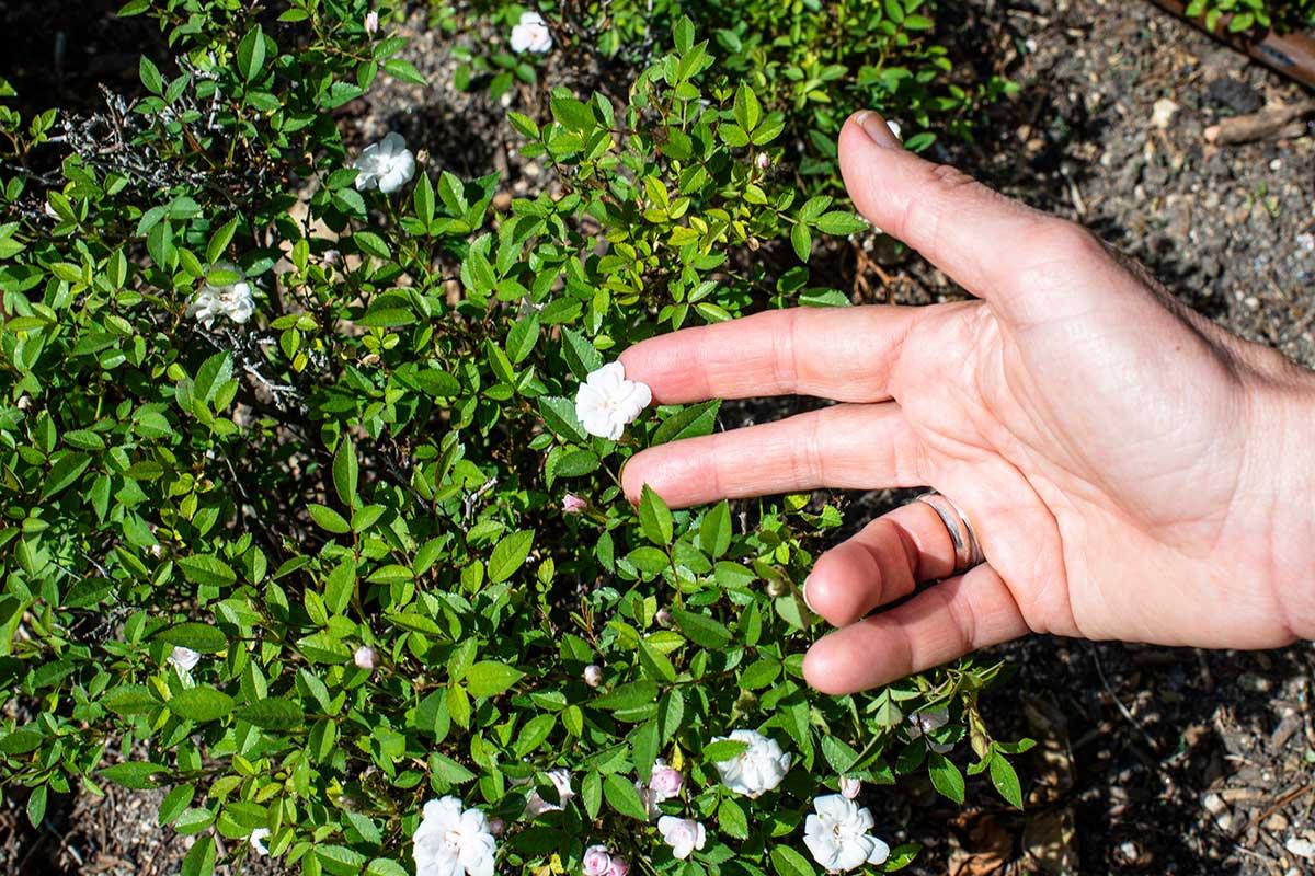 Las variedad de rosas más pequeñas del mundo en La Rosaleda del Parque del Oeste (Madrid).