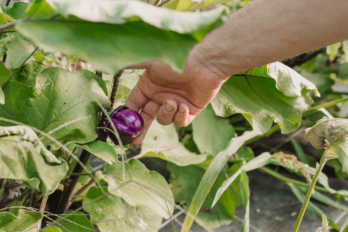"""Una de las berenjenas ecológicas y """"diferentes"""" que se cultivan en Finca Bendoiro."""