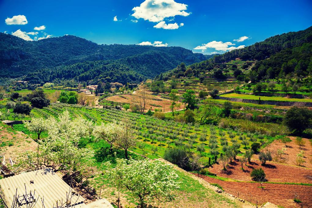 Viñedos y olivares en la Serra de Tramuntana. Foto: 123RF.