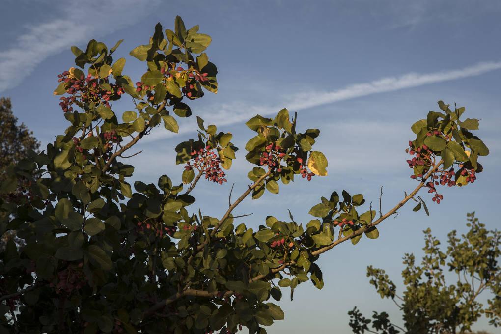 Toda la producción de pistachos ya está vendida antes de recogerlos.