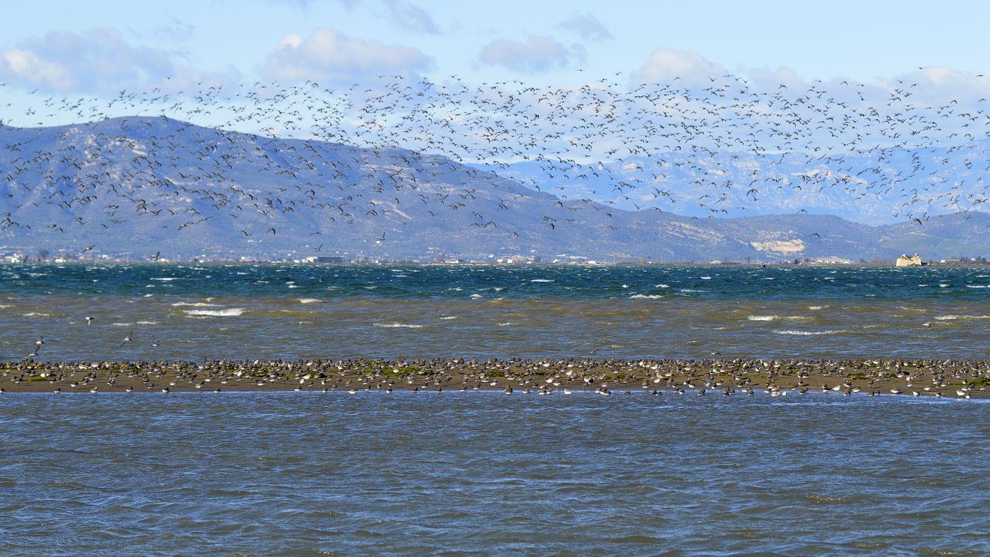 Multitud de pájaros en la Bahía dels Alfacs, en el parque natural del Delta del Ebro. Foto: Shutterstock.
