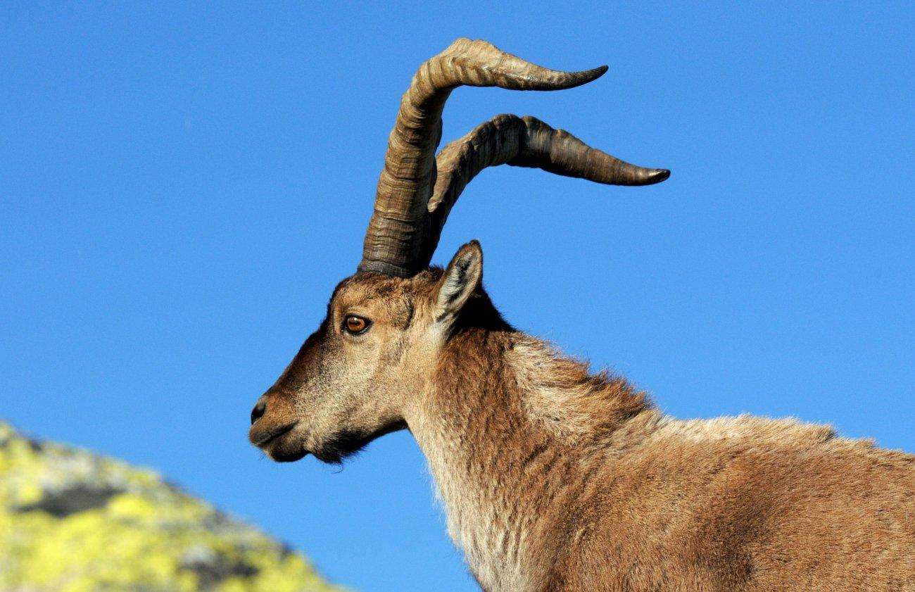 Parque Nacional de Sierra Nevada: macho de montés. Foto: Alfredo Merino.