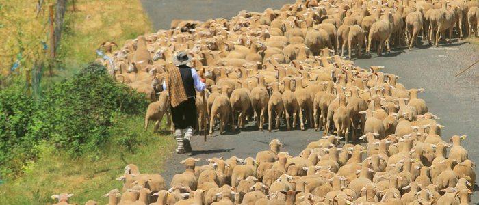 Pastores conduciendo un rebaño de ovejas.