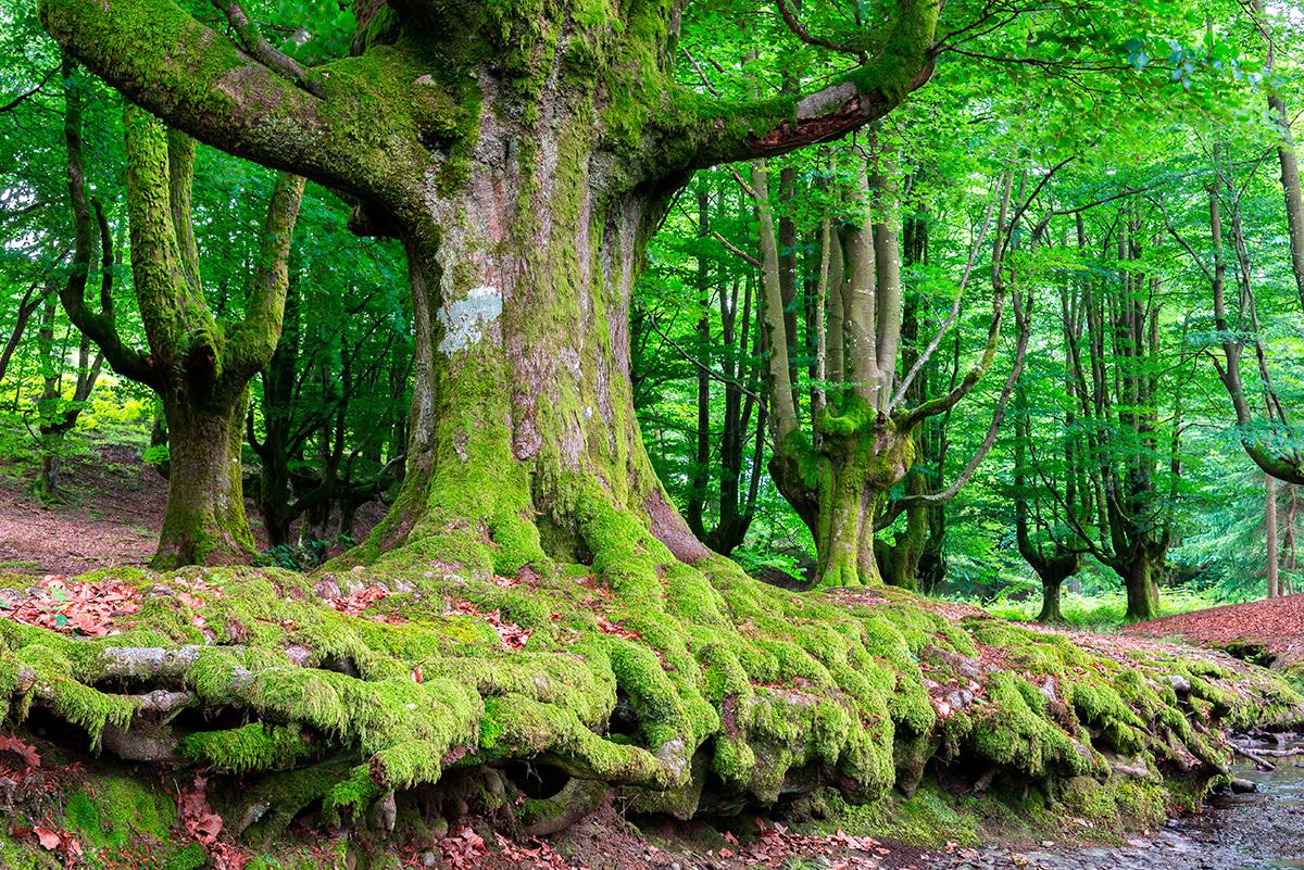 El Hayedo de Otzarreta, un bosque de cuento. Foto: shutterstock