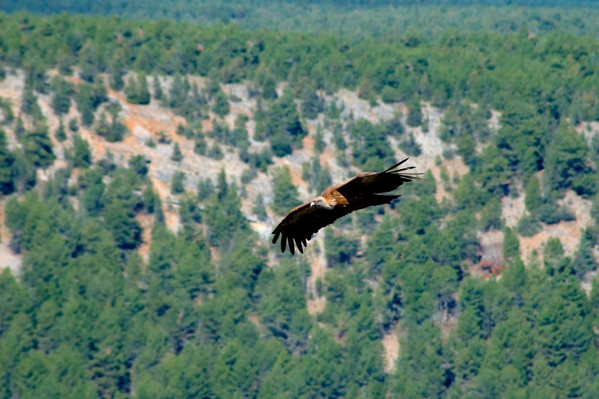 Buitre en pleno vuelo en el cañón de río Lobos.
