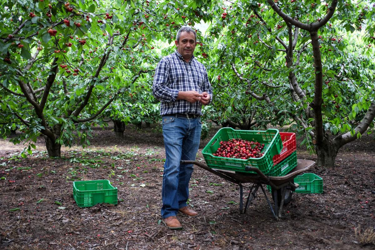 Emilio Sánchez, presidente de la Agrupación de Cooperativas, posa junto a las primeras cerezas de la temporada.