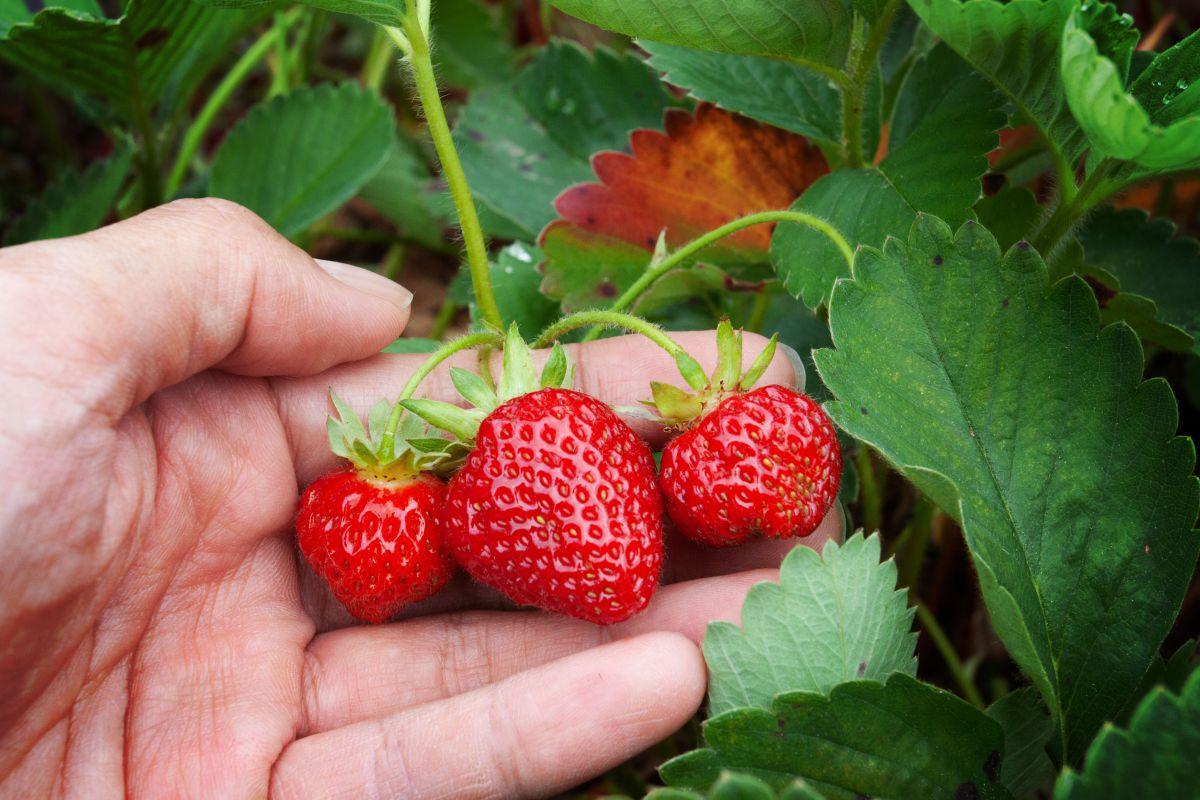 Recolectando fresas de la mata. Foto: Shutterstock.