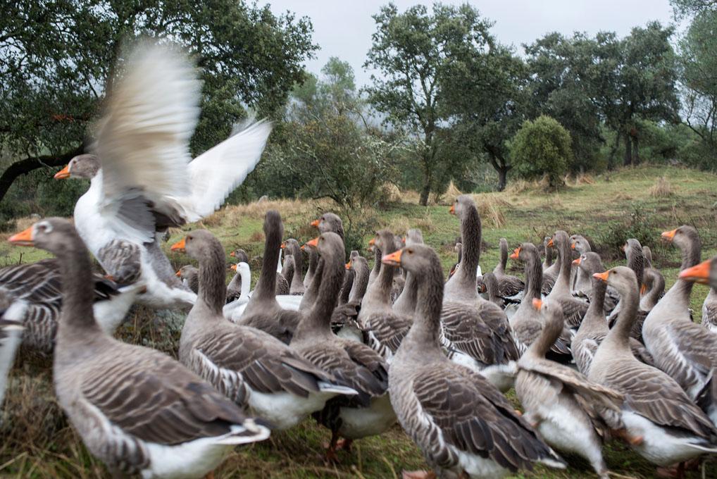 Las ocas viven en total libertad y se alimentan de hierba y bellota.