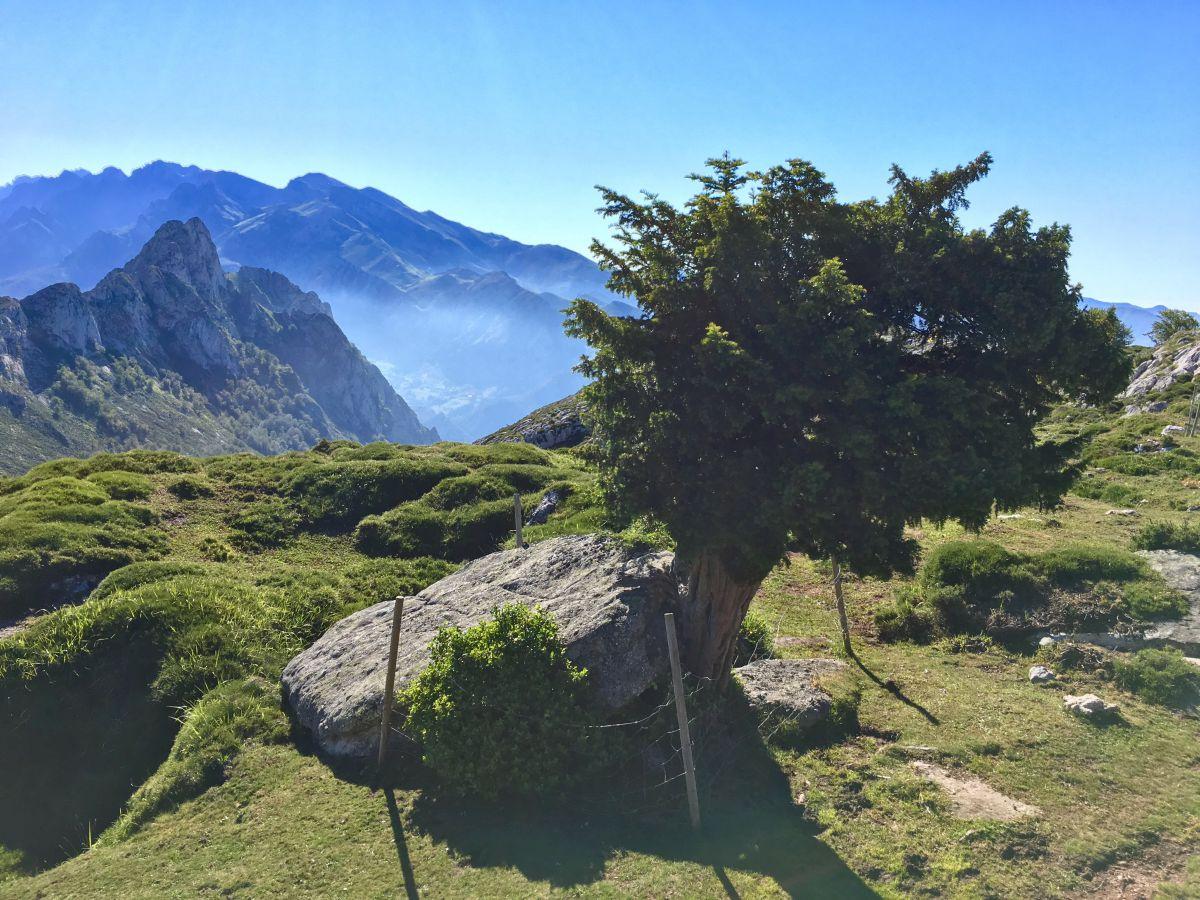 Vistas de la cima de las montañas y un tejo sagrado en la Braña de los Tejos, Cantabria.