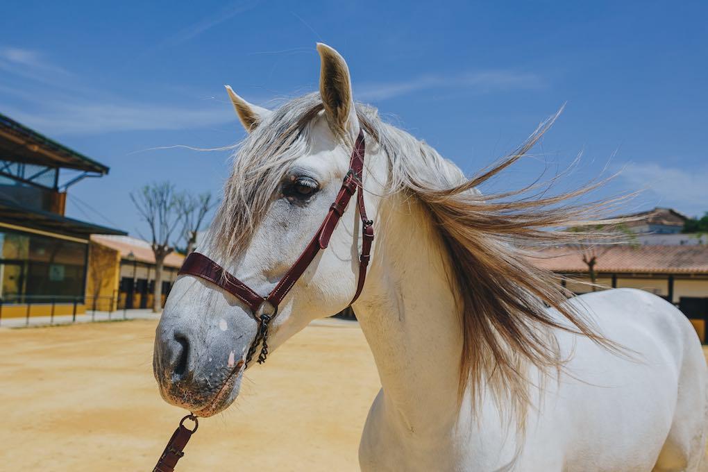 La yeguada cuenta con 280 caballos, cuyo origen está en aquellos monjes cartujos.