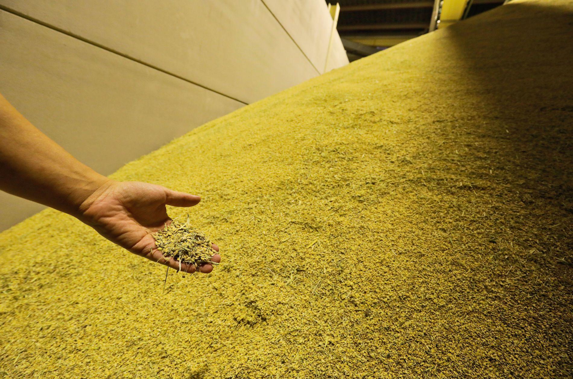 Durante la temporada de cosecha, en septiembre, hasta tres camiones descargan al día en el molino de Segorbe.