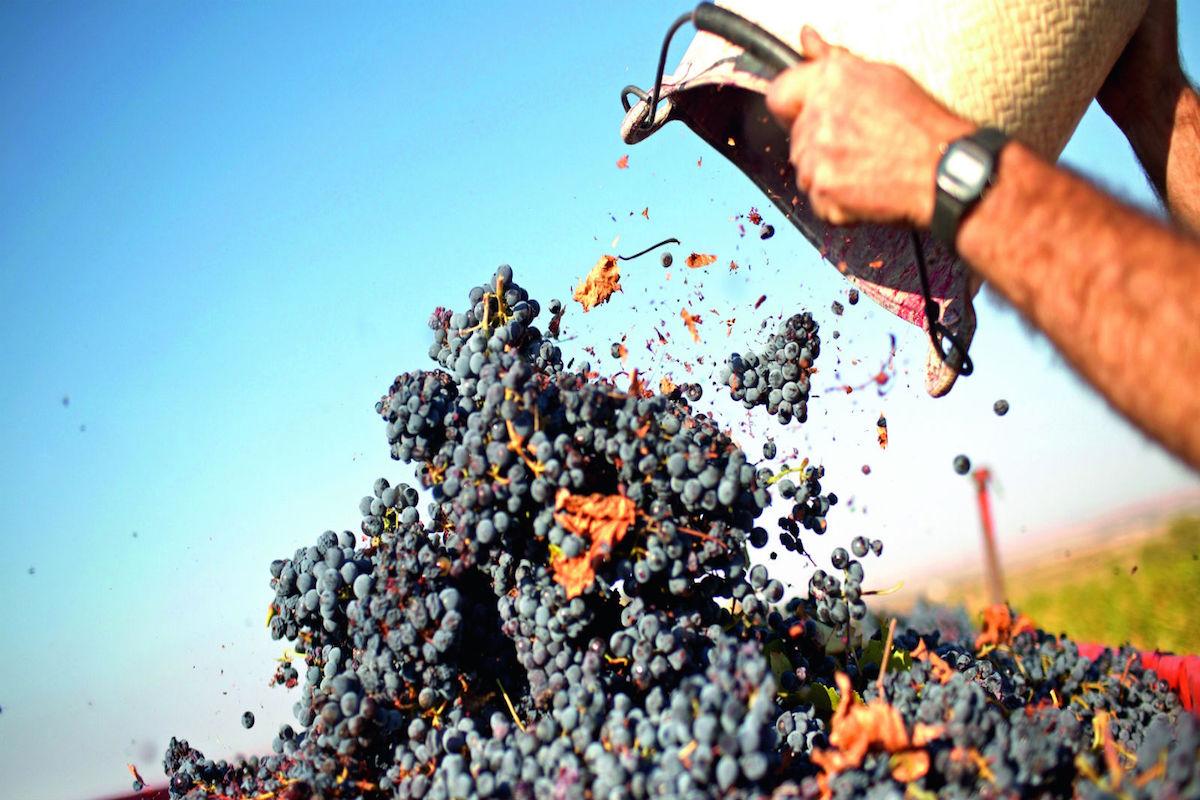 Vendimia de la uva garnacha.