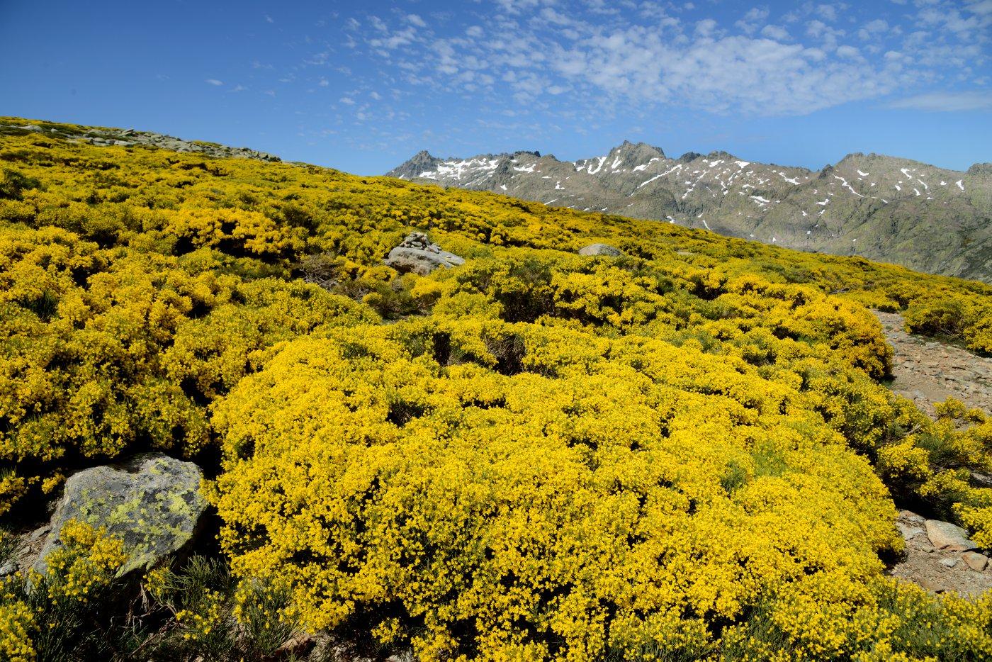 Piornos en flor en Gredos
