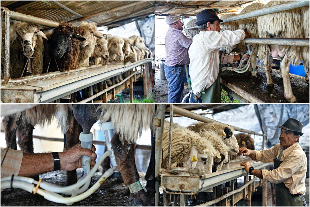 Tres horas de ordeño de 300 ovejas autóctonas canarias.