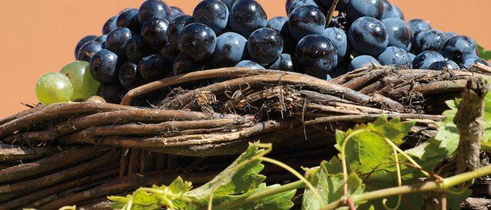 Uva tinta con la que se elabora vino con denominación de origen Toro.