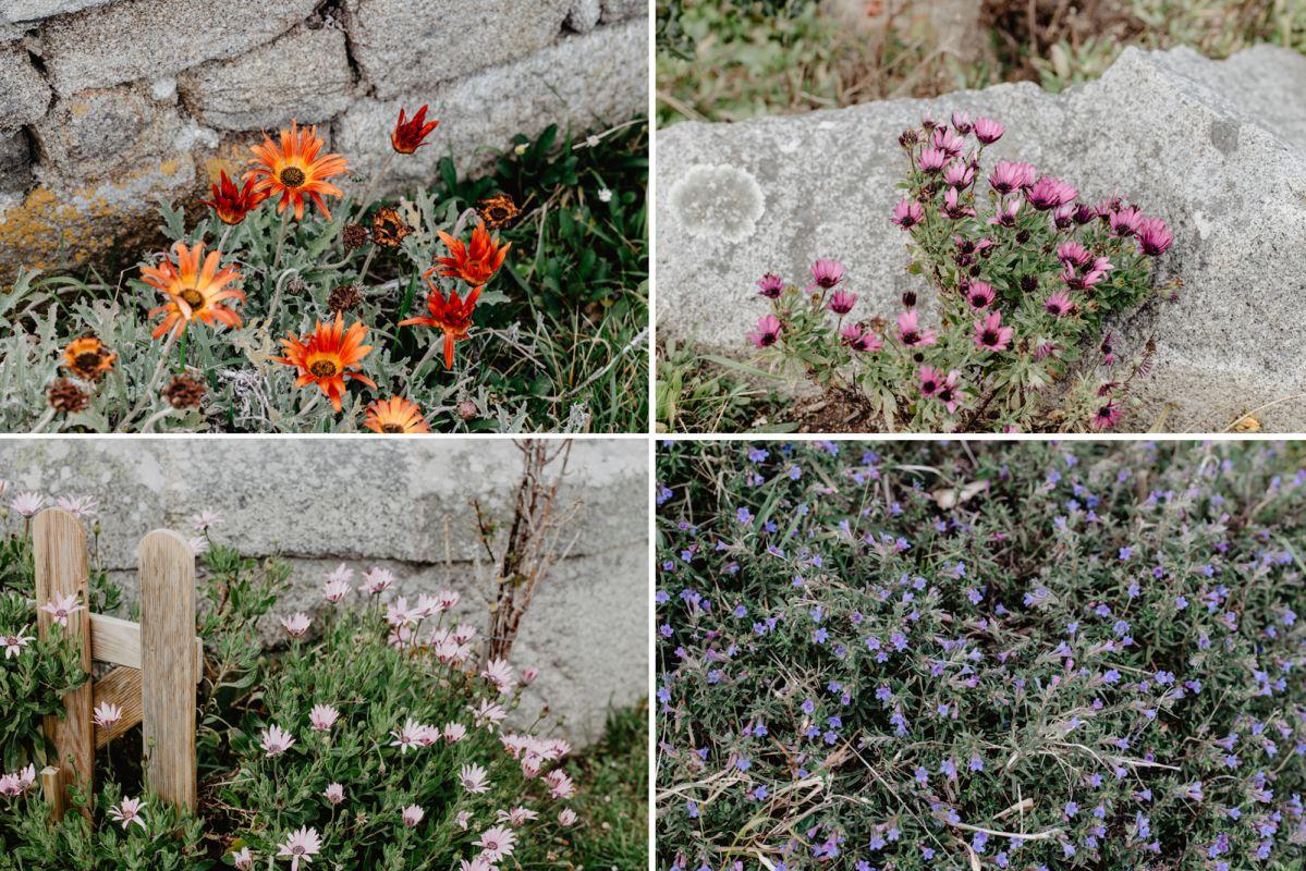 Florecillas que crecen en el hotel Semáforo de Bares, en Mañón, A Coruña.