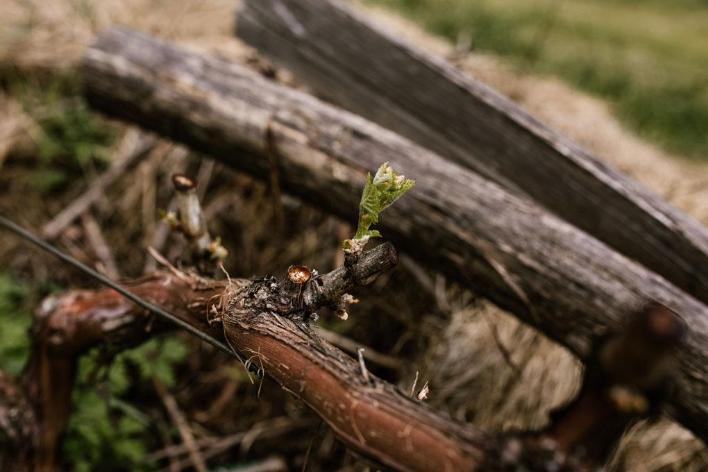 El florecer de una de sus vides.