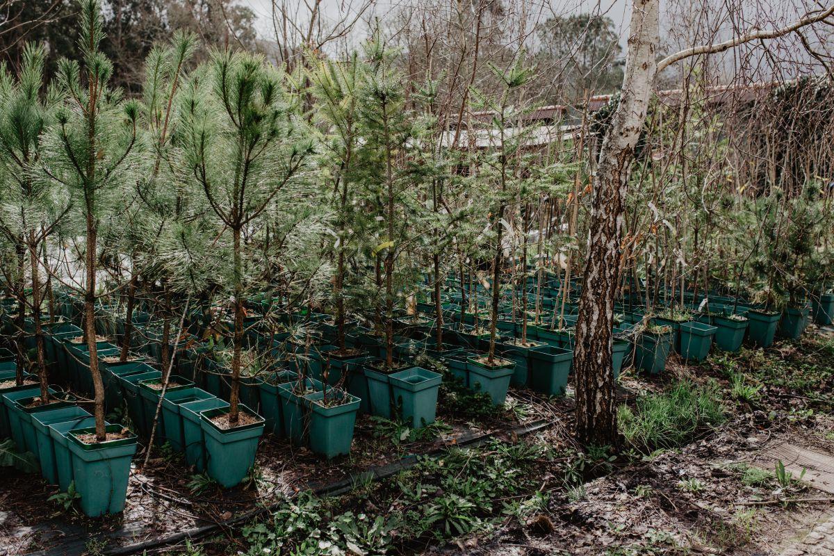 Castaños micorrizados listos para ser plantados.