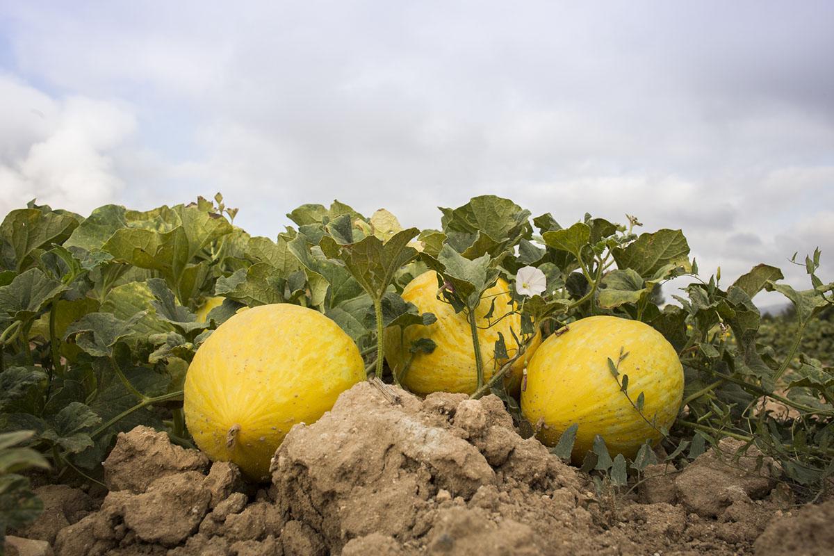 Cada mata puede dar entre dos y tres melones amarillos, menos productivas que la de los verdes.