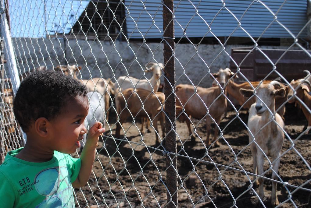 ¡Atención! Cabras y chivos a la vista.