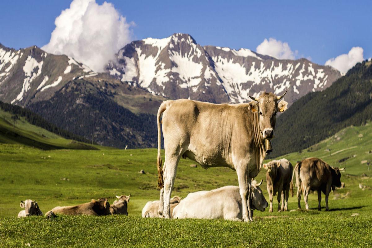 Vacas pastando en los Pirineos