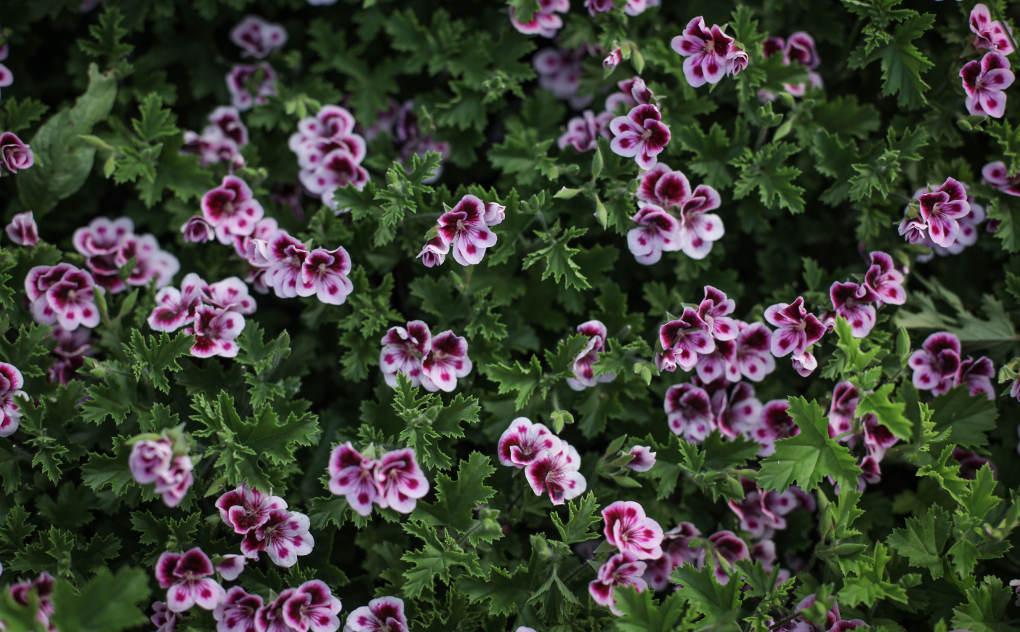Cultivan una gran variedad de flores comestibles.