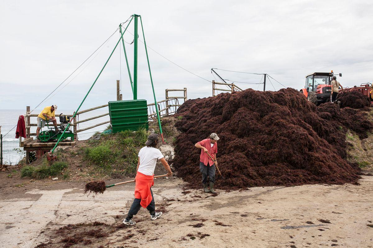 La recolección del alga roja no da tregua.