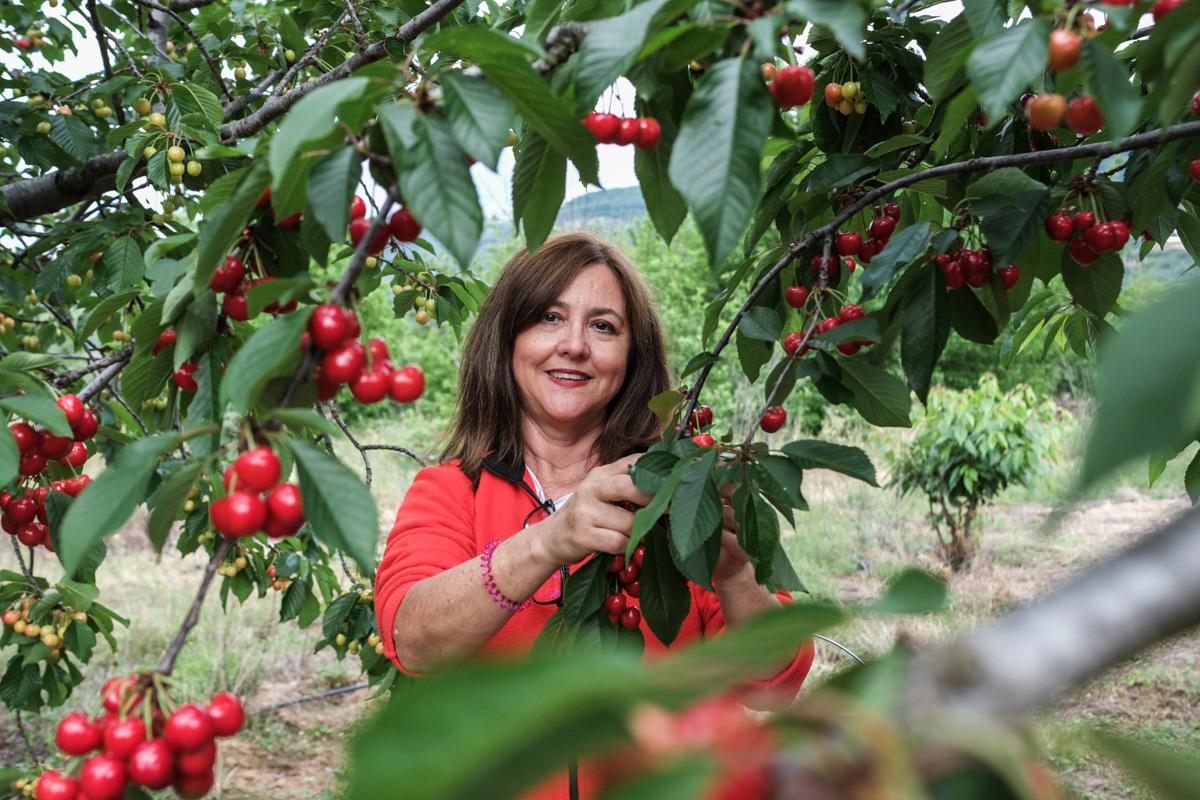 Cada vez más personas se acercan al Jerte para aprender a recoger cerezas.