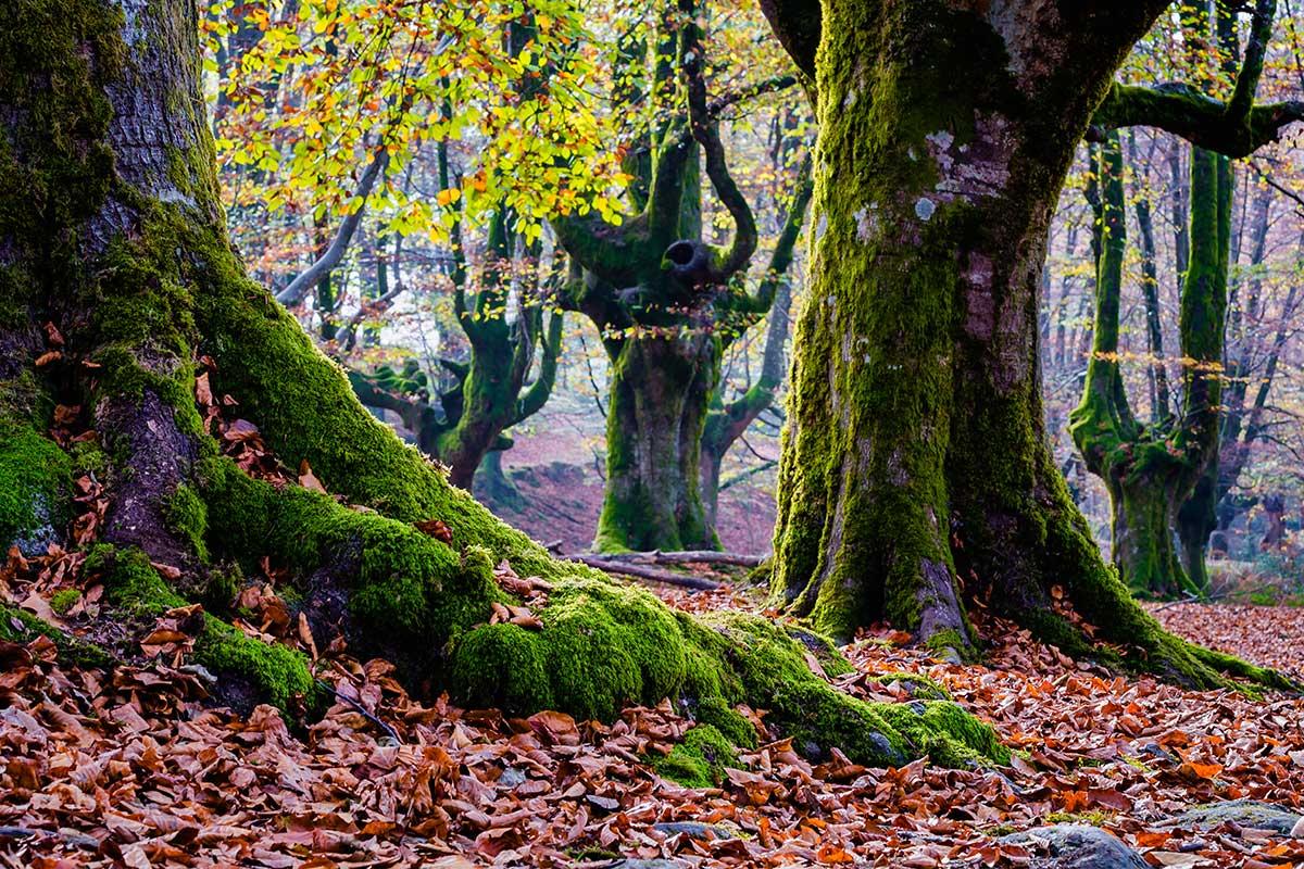 En los bosques de Gorbea se ha establecido un máximo de dos kilos por persona. Foto: Shutterstock.