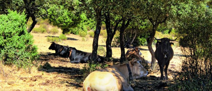 Toros pastando en la sierra de Madrid.