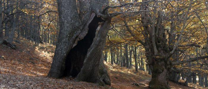 Castaños en el bosque de El Tiemblo.