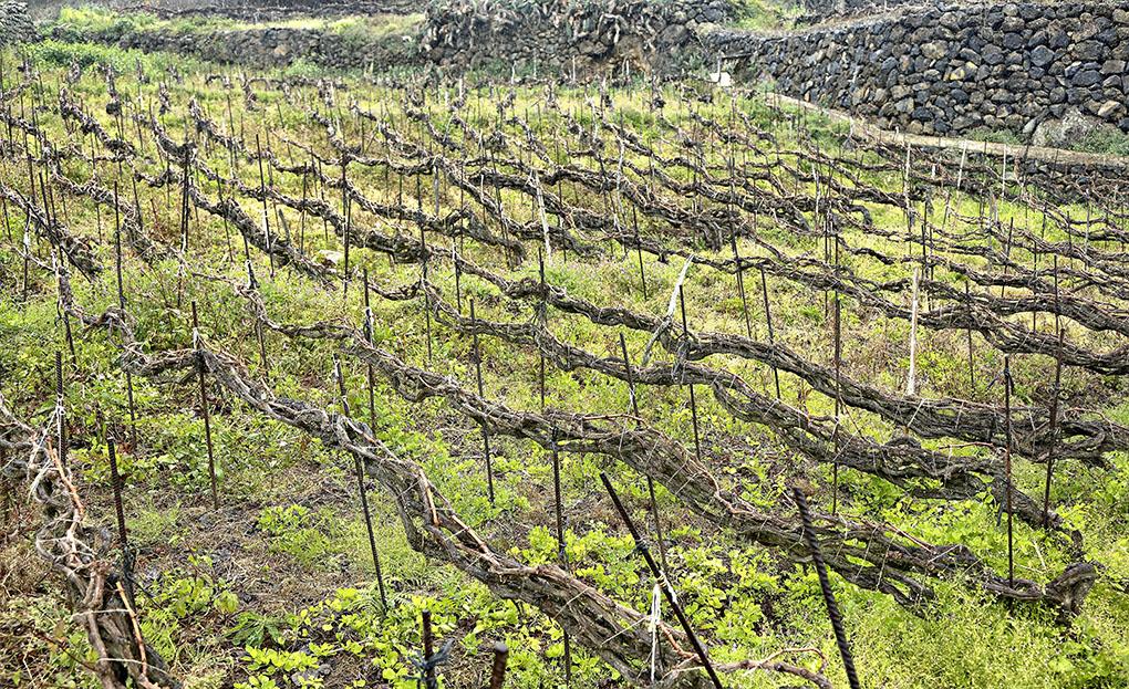 Viñas con el tradicional cordón trenzado del norte de la isla de Tenerife.