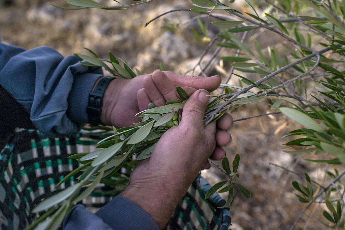 La recogida de la acebuchina es por el método del ordeño de las ramas.