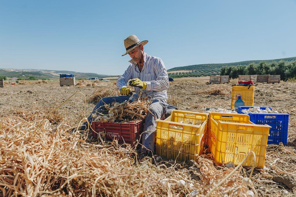 Un jornalero cortando raíz y tallo a más de 30º C.
