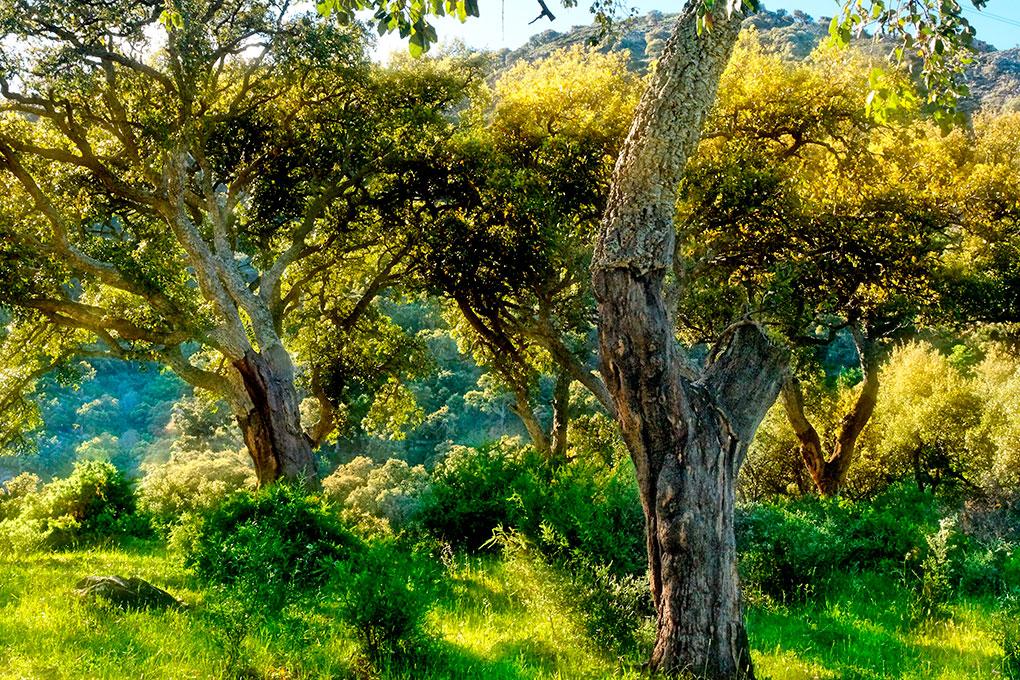 Aquí se encuentra el bosque más grande del mundo de alcornoques. Foto: Shutterstock.