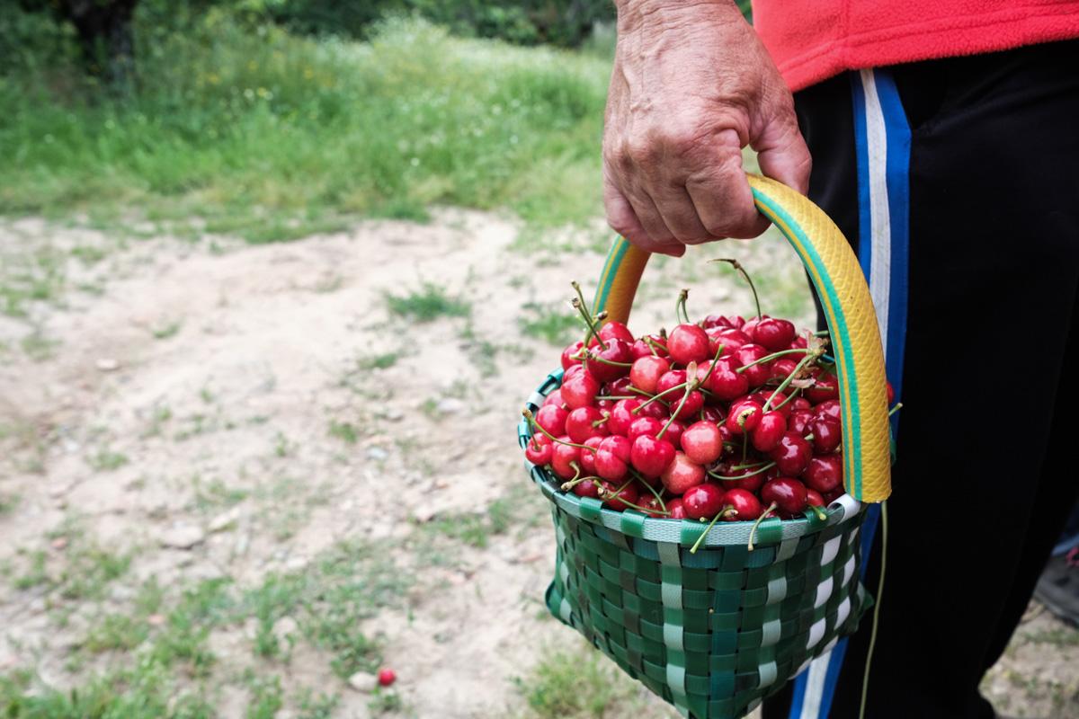 Cada uno recolecta en una cesta para llevarse luego a su casa dos kilos de la reina del Jerte.