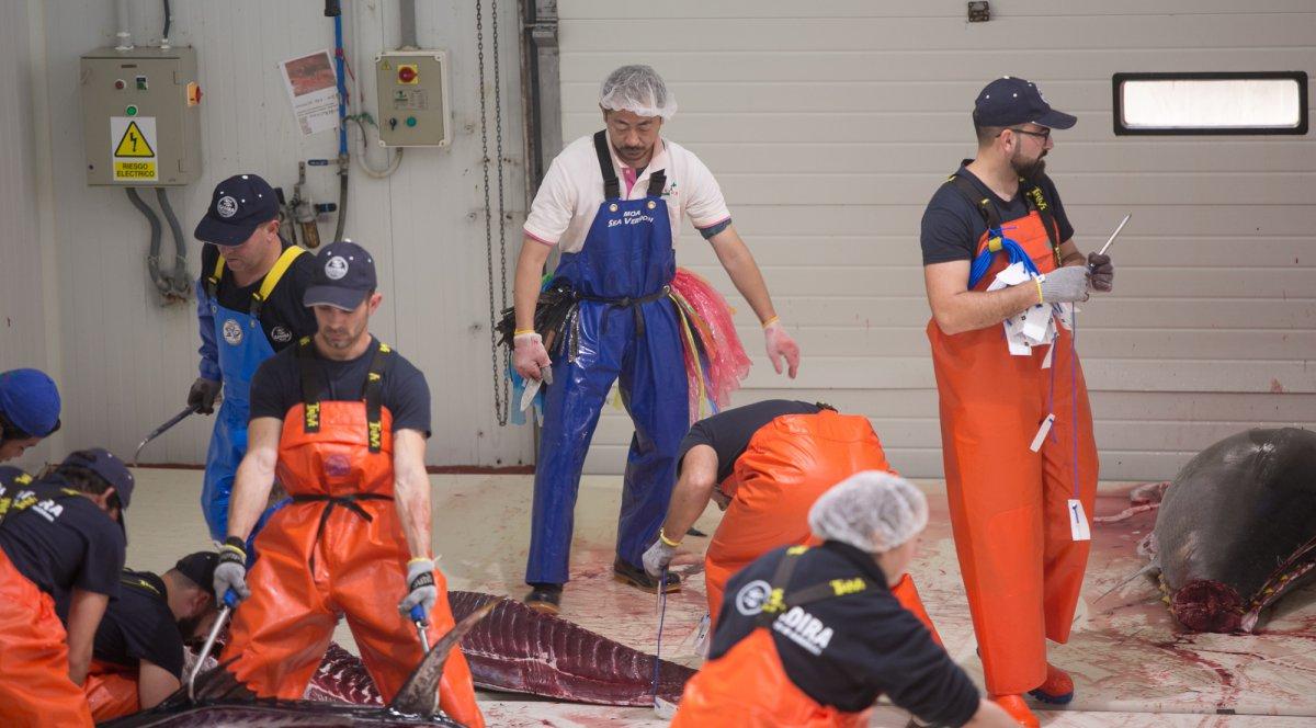 Un japonés controla la calidad del atún en el momento de su corte y lo selecciona por colores según la calidad de su carne y grasa.