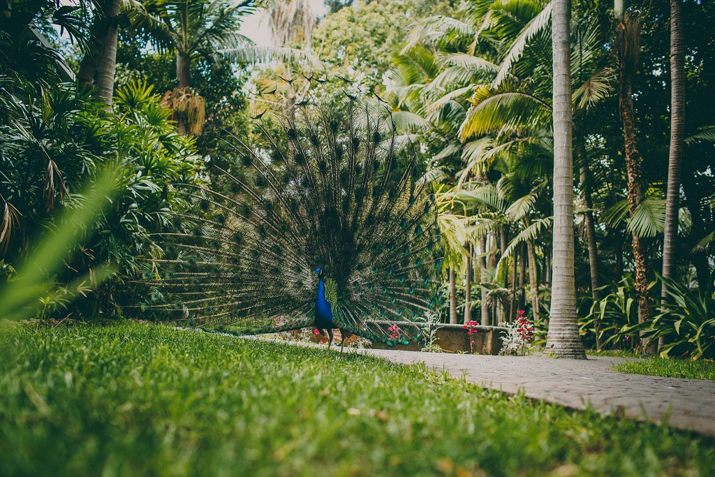 La colonia de pavos reales y el Drago centenario son dos atractivos del Jardín de la Marquesa.