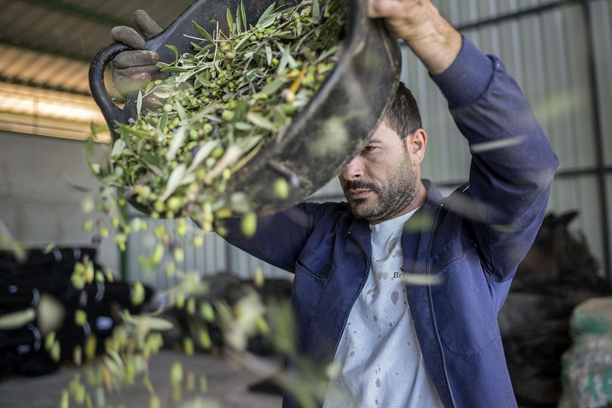 Las acebuchinas se avientan en un almacén de la almazara para separar hojas y ramas del fruto.