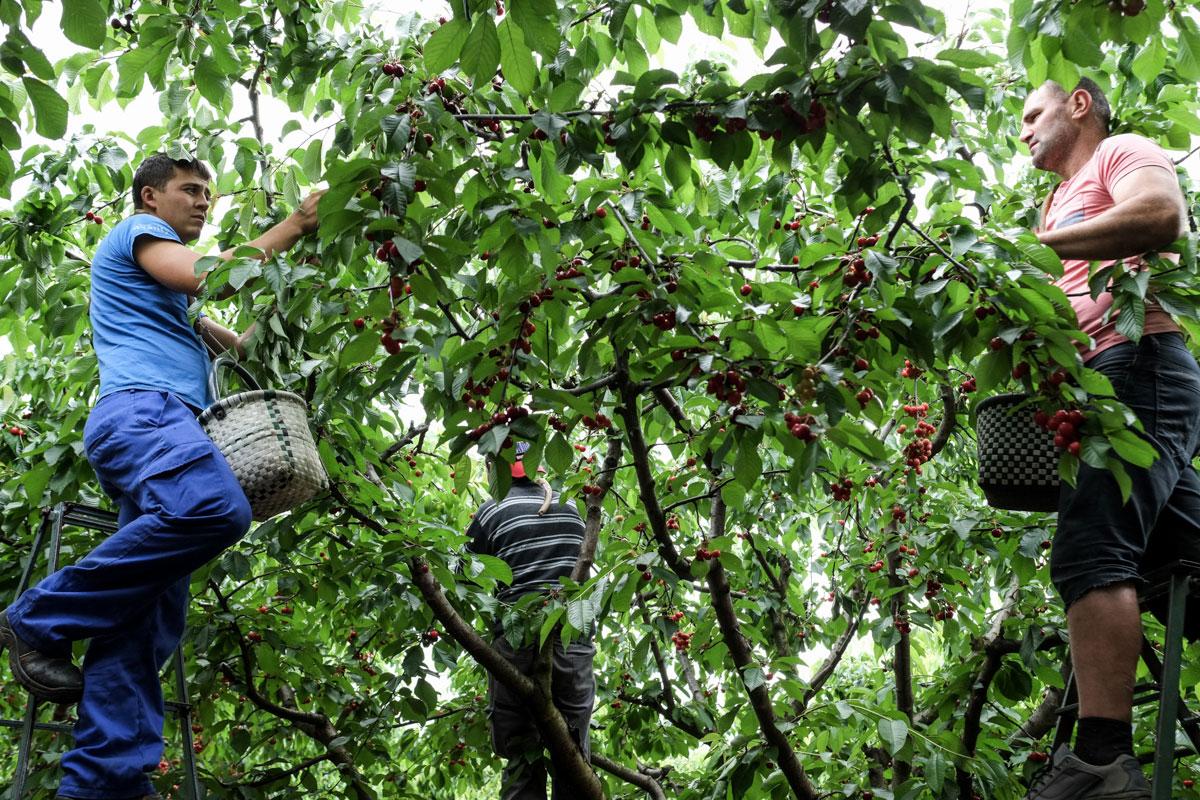 Con la cesta colgada del 'garabato' se van recogiendo las cerezas sin descanso.