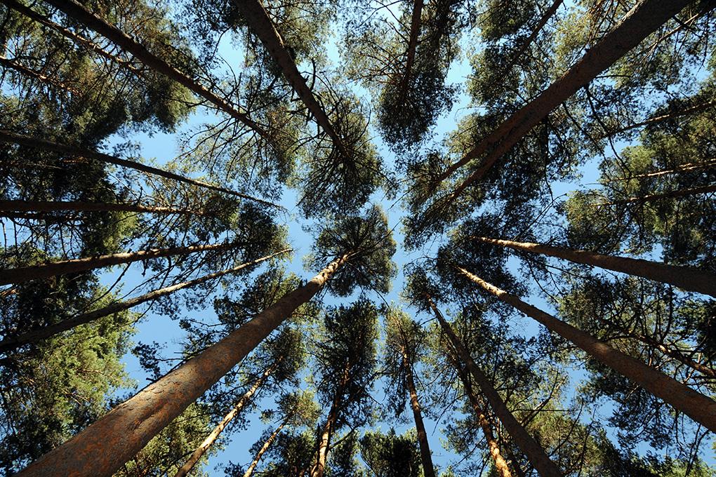 Los árboles del bosque de Valsaín mantienen las buenas temperaturas. Fotos: Alfredo Merino y Marga Estebaranz.