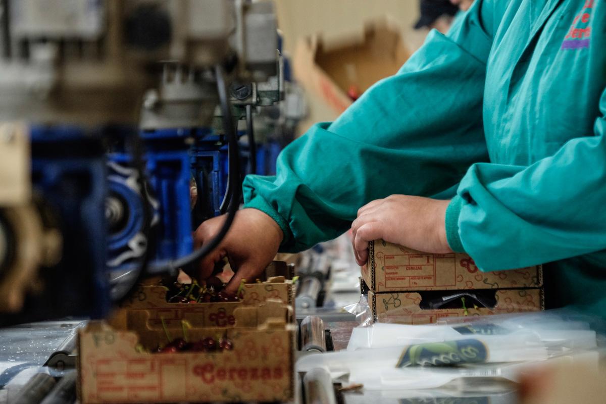 Algunas de las cerezas se empaquetan directamente en cajas de un kilo, dos o cinco.