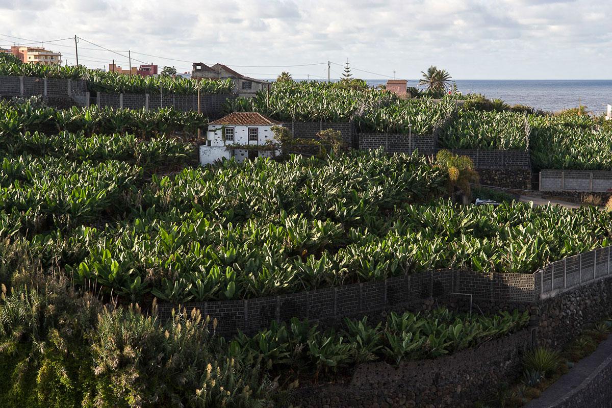 La Palma: Cantero de plátano. Foto: Manuel Ruiz Toribio