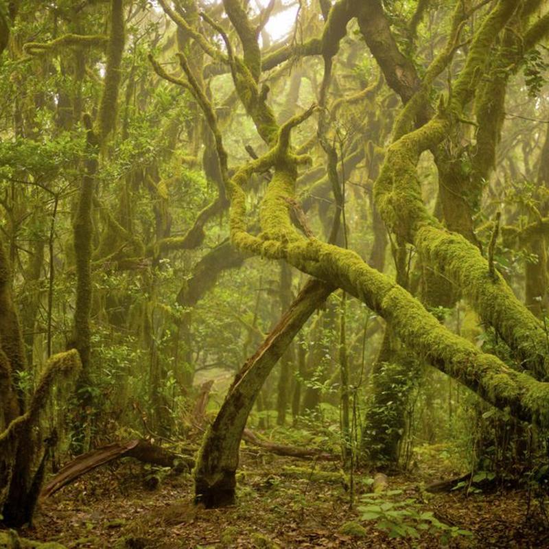 Parque Nacional de Garajonay. La Gomera.