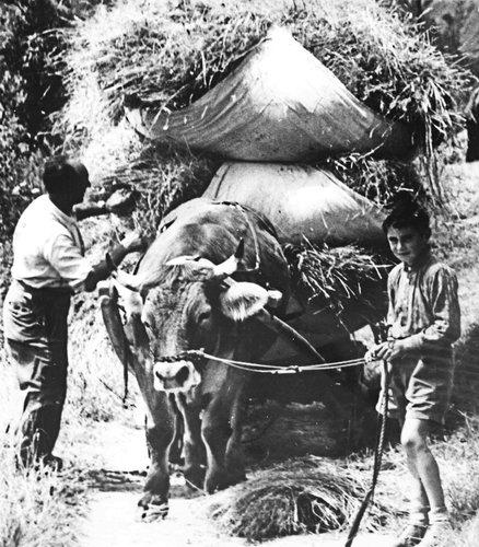 Vnà 1957 - La chargia fain es pronta cun il bouv sco manadüra