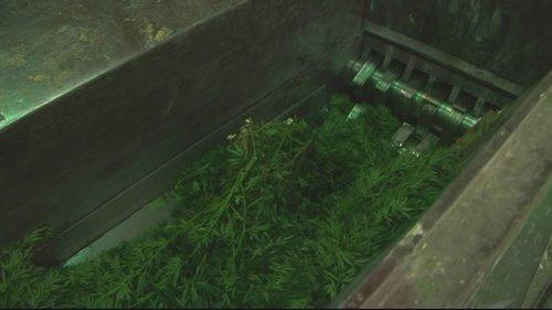 Polizia destruescha racolta da cannabis